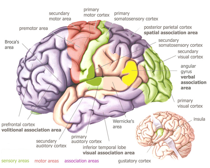 an analysis of the processing of olfactory information in the human body Review on the scent of human olfactory orbitofrontal cortex: meta-analysis and comparison to non-human primates jay a gottfrieda,, david h zaldb adepartment of neurology and the cognitive neurology and alzheimer's disease center, northwestern university feinberg school of medicine,.